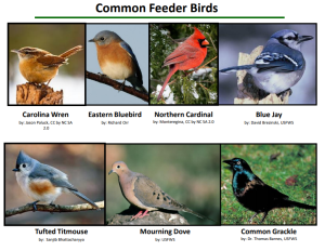 Image of various common backyard birds in Maryland
