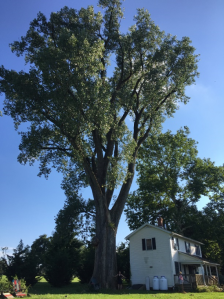 Photo of 2017 Champion Tree, Eastern Cottonwood, Baldwin, Baltimore County