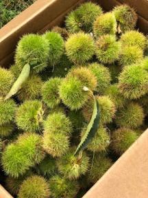 Image of harvested chestnut burs