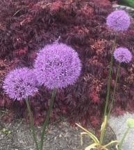 Image of Giant Alliums