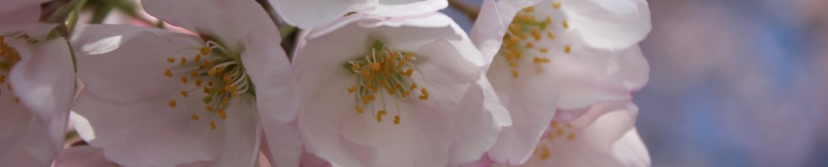 banner image of cherry blossoms by Bill Craig, Flickr