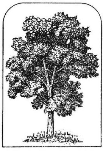 Trees in Maryland illustration