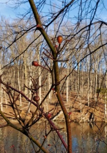 Winter forage, Loch Raven Reservoir, early January, 2021. Vic Sanborn