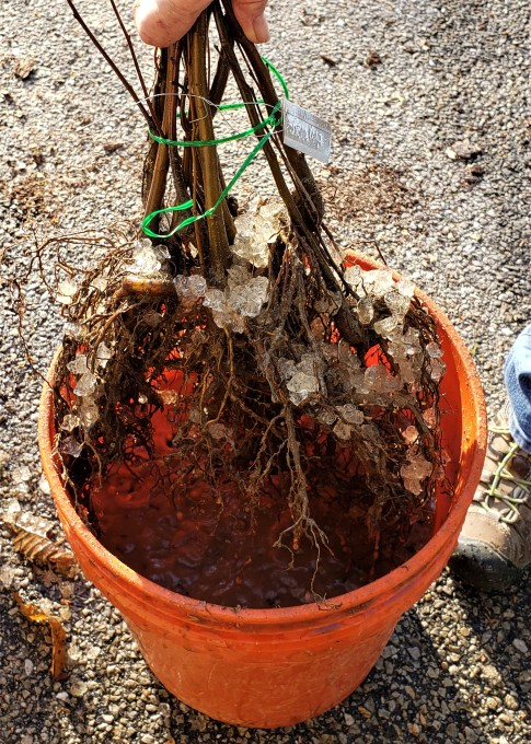 "Plunging the roots one last time into water before being bagged. Notice the ""soil moist"" nodules that form as the roots get saturated."