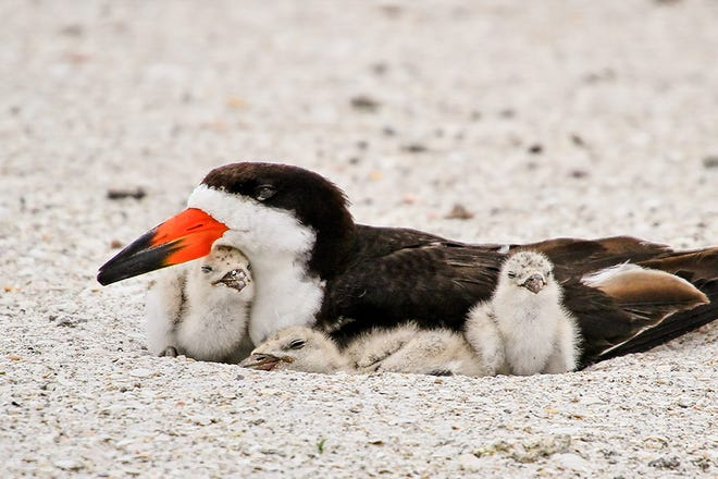 Image of a black skimmer with three baby birds