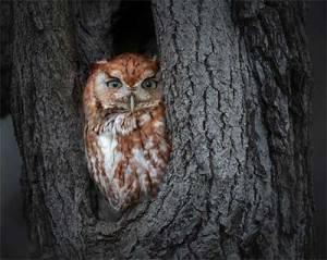 Image of a screech owl by Zaphir Shamma