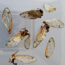 Various states of eaten and uneated cicadas; some still with legs, some with heads missing, others with bodies only. Wings universally discarded. Image by Vic Sanborn