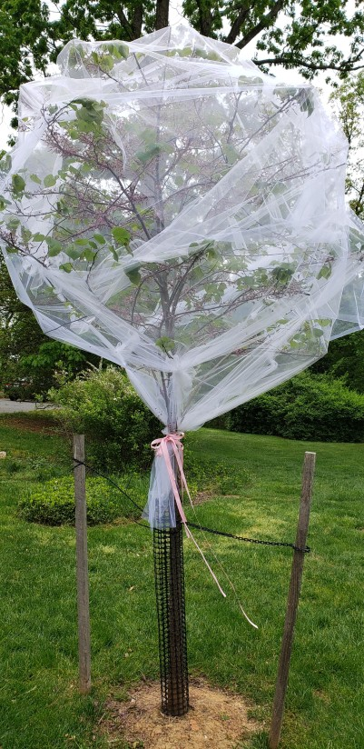 Young tree protected by netting. Image, Towson, by Vic Sanborn