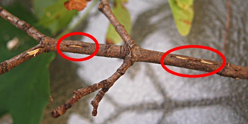 Cicada_egg_slits_20040606_200213_1-wikimedia commons