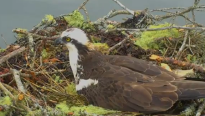Photo of an Osprey sitting on her eggs in a nest